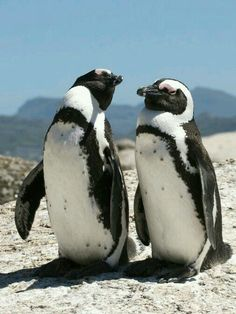 Here we have a pair of African Penguins. Every October we celebrate African Penguin Awareness Day. This year it was on October These penguins are also known as black-footed penguins or jackass penguins. Penguins And Polar Bears, Cute Penguins, Beautiful Birds, Animals Beautiful, Animals And Pets, Cute Animals, Penguin Species, African Penguin, Penguin Love
