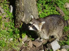 URGENT: Speak Out Against Raccoon Torture Event!