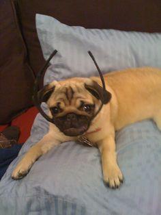Naughty pug with headband