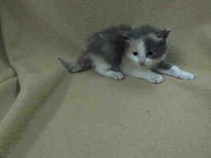 TO BE DESTROYED 5/30/14 ** BABY ALERT! ONLY 4 WEEKS OLD! CAME IN WITH A1000973, A1000974, A1000976, A1000975, BUT NO MOM) PLEASE PLEDGE, FOSTER OR ADOPT TONIGHT TO SAVE THIS LITTLE ONE'S LIFE! ** Manhattan Center  My name is SUNBURST. My Animal ID # is A1000977. I am a female white and orange domestic sh mix. The shelter thinks I am about 4 WEEKS old.  I came in the shelter as a STRAY on 05/24/2014 from NY 10031. I came in with Group/Litter #K14-178674.