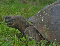 Galapagos Tortoise - Bing Images