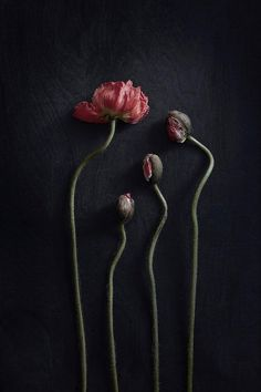 Paper Collective – Pia Winther, Still Life 02 (Red Poppies) Dark Flowers, Beautiful Flowers, Ikebana, No Rain, Motif Floral, Still Life Photography, Red Poppies, Wassily Kandinsky, Henri Matisse