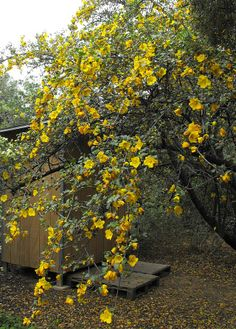 California Flannelbush (Fremontodendron? - Malvaceae)  (Note:  I like this small tree but don't know anything about it.  Will research… may possibly move this pin to Flowers and Trees board.)