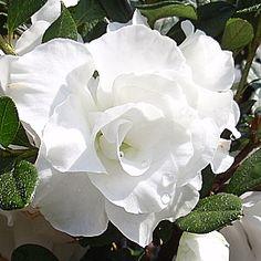 Hardy Gardenia Azalea bush…LOVE