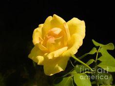 Yellow Roses, Fine Art America, Digital Art, Greeting Cards, Wall Art, Flowers, Artist, Artwork, Plants