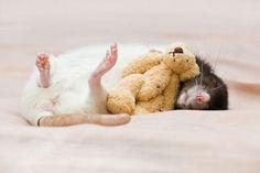 Awwww sleepy rat with his teddy!