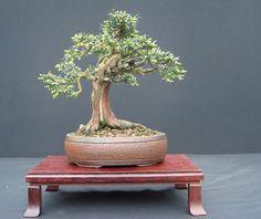 "Shohin English Yew (Taxus baccata) by John Pitt. 8"" tall. Pot: John Pitt."
