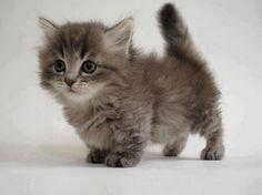 OH MY GOODNESS IT'S A MUNCHKIN KITTY I'VE ALWAYS WANTED A MUNCHKIN KITTY I WANT IT I WANT IT I WANT IT!