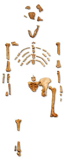"""Reconstruction of the fossil skeleton of """"Lucy"""" the Australopithecus afarensis"""
