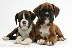 Dogs: Two Boxer puppies, 8 weeks old photo