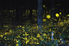 We may only see snowflakes dancing in the air for the next few months but we can still enjoy these long-exposure photos of Golden fireflies taken from 2008-2011 in Japan