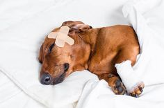 If you are a dog owner, this is an important article - it will give you an idea of how to perform basic first aid for dogs, including what to do/not to do in an emergency situation.