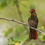 Chrysolampis mosquitus - Ruby-topaz Hummingbird - Colibrí Rubí Topacio 41 by jjarango