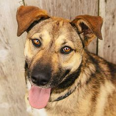 """Whoa, what a beauty! Cappuccino is a peppy and lovely #Shepherd blend #dog yearning to find an active forever home. She would make a great jogging partner - or would be great at making """"doggy sandcastles"""" on the beach! #Adopt her in #SanDiego!"""