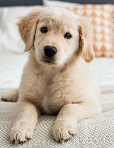 SUCH A SWEET, ADORABLE FACE OF A GOLDEN RETRIEVER PUPPY : )  xoxoxox <3<3<3