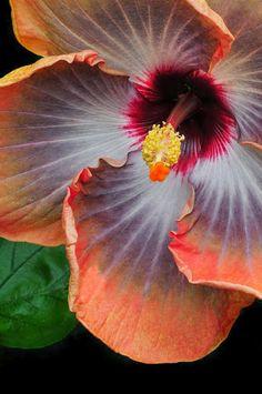 Hibiscus Key Largo