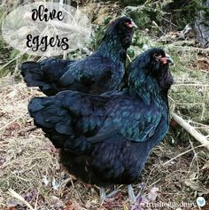Olive egger chickens, a cross between a Marans and an Ameraucana, lay gorgeous olive green eggs. Chicken Bird, Chicken Runs, Chicken Houses, Black Chickens, Chickens And Roosters, Chicken With Olives, Fresh Chicken, Backyard Chicken Coops, Colors