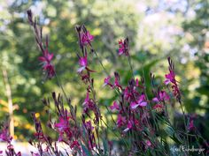 clay and limestone: Gaura is finally happy in the garden