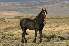 The Black Stallion Fine Art Wild Horse by WildHoofbeats on Etsy