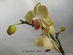 Почему у орхидеи вянут цветы и бутоны. Проблемы цветения.. Обсуждение на LiveInternet - Российский Сервис Онлайн-Дневников