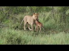 Lioness Protects a Baby Antelope Biological Mother, Holy Ghost, Baby Deer, Big Cats, Lion, Wildlife, Animals, Perception, Blessed