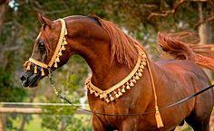 Simeon Ibn Sehavi (Imperial Madaar x Simeon Sehavi) 2007 chestnut stallion bred by Simeon Stud