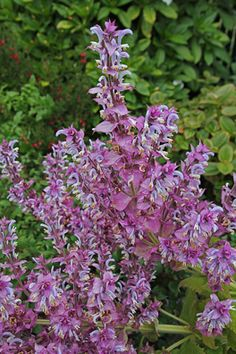 """Salvia sclarea 'Piemont' - """"A must for every garden"""" says Penelope Hobhouse, so if you've yet to grow this robust, beautiful, architectural & long blooming cottage garden favorite – this could be your year!"""
