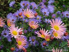 A beautiful fall pairing: 'Sheffield Pink' mums (Chrysanthemum) – here with native aromatic aster (Symphyotrichum oblongifolium) Plants, Plant Combinations, Fall Flowers, Garden Mum, Secret Garden, Companion Planting, My Secret Garden, Garden Bloggers, Cottage Garden