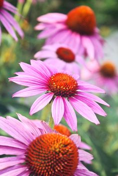 Poolside coneflowers in a sister's garden north of Barrie (photo: Dave Melnychuk)