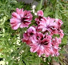 Lara bounty pelargonium- Rose scented geranium