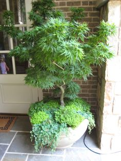 peacock ferns under maple - photographed by Heather Moll-Dunn Landscape and Garden Designer on the Gardens for Connoisseurs Tour around Atlanta maple tree landscape shade garden Japanese Garden Plants, Japanese Garden Design, Japanese Maple Garden, Container Plants, Container Gardening, Blue Spruce, Outdoor Planters, Potted Trees Patio, Bonsai Garden