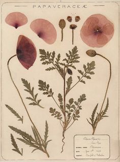 Herbarium specimen of common poppy Papaver rhoeas collected 1895 by Frances Giles a pharmacist near Folkestone Kent from the Royal Botanical Garden Vintage Botanical Prints, Botanical Drawings, Botanical Art, Botanical Gardens, Vintage Floral, Vintage Botanical Illustration, Illustration Flower, Kew Gardens, Botanical Flowers