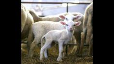 sheep twins