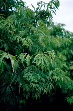 Find help & information on Sambucus racemosa 'Sutherland Gold' European red elder 'Sutherland Gold' from the RHS Succession Planting, Poisonous Plants, Private Garden, Trees And Shrubs, Garden Plants, Herbs, Gardening, Patio, Summer