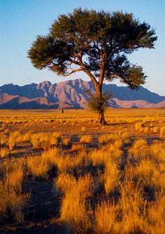 Namib Naukluft National Park, Namibia  single tree in golden plain, mountains behind.