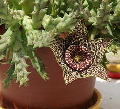 Unusual+Succulent+Starfish+Plant+Stapelia+Orbea+variegata+-+15+Seeds