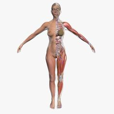 Enjoyable 1427 Best 3D Anatomy Images Wiring Cloud Hisonuggs Outletorg