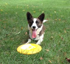 Look at that happy face!  This Corgi sure loves to play Frisbee at the park.  Do you let your Corgi play at the park?    Sign up for The Daily Featured #Corgi - http://bit.ly/DailyCorgi