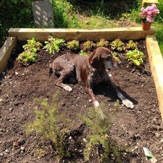 Not quite what I had in mind for my raised bed! #lettuces #raisedbeds #dogsofinstagram #gsp