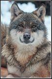 Loup gris - parc Alpha Mercantour