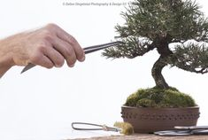 Shaping young bonsai tree - Tools of the trade - learning from a pro - Bonsai made easy by Antony Smith @antonysmith2861 - from Willow Bonsai & Bonsai Addicts Club #toolsofthetrade #bonsai #hobby #dingelstadphoto #throughmylens #photo #photography #canon #profoto #canon_photographers #canon_photos #canonphotography #teamcanon #canonphoto #trending #icatching #exclusive_shots #main_vision #master_shots #dalton #DDP #lifethroughmylens