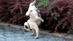 Dogs don't pee like this. | 29 Dogs Who Forgot How To Dog