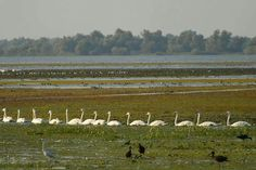 You may have your ducks in a row, but I have my SWANS in a row. :-D (Danube Delta in Romania) Danube Delta, Romania, The Row, Swans, Ducks, Country, Holiday, Photos, Vacations