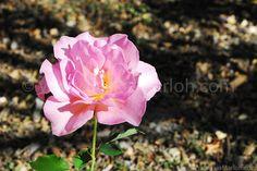A Rose in Alentejo