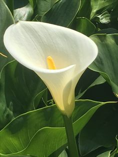Magnificent beauty 竹子湖苗榜海芋園 Cala Lilies, Calla Lily, Natural, Clarity, Gardening, Flower, Plants, Craft, Drawings