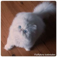 Fluffykins Icebreaker, Blue Eyed White Persian Kitten | Persian | Persian Cat | White Persian | Show Cat | Fluffykins Persians Cattery |Blue Eyes|