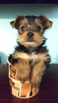 Litter Of 3 Yorkshire Terrier Puppies For Sale In Indianapolis In