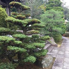 Splendid #niwaki #topiary