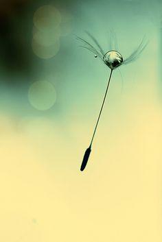 Starry Dandelion Z Davidson Foto Macro, Les Fables, Photos Originales, Dandelion Wish, Water Droplets, Gras, Flower Seeds, Make A Wish, Macro Photography