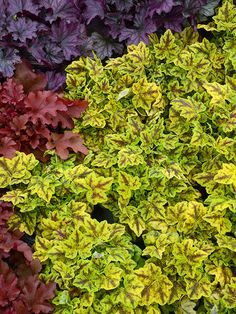 Heucherella 'Leap Frog - I have never seen this! Hardy low growing shade plant. If is can find it it would be perfect by the deck stairs